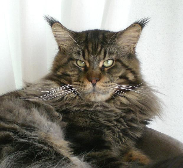 Coonattack maine coon cats for Koi pond maine coon cattery